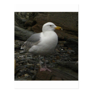 Gull on the rocks postcard
