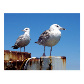 Gulls Postcard