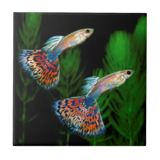 Guppies Ceramic Tiles
