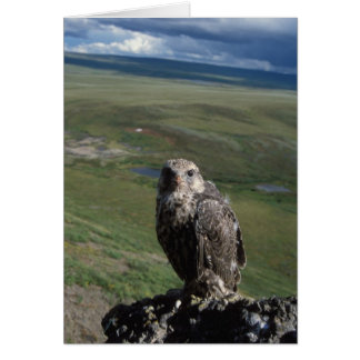 gyrfalcon, Falco rusticolus, juvenile getting Card