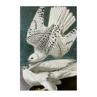 Gyrfalcon Fine Art by John Audubon