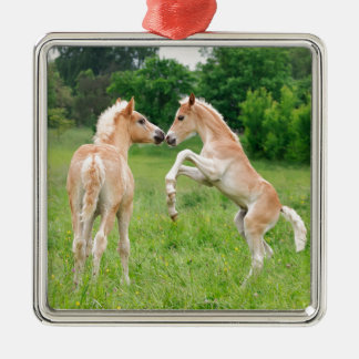 Haflinger horses cute foals rearing Silver-Colored square ornament