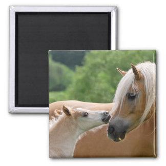Haflinger mare and foal cuddling square magnet