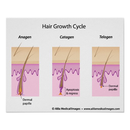 Hair growth cycle labeled version diagram. poster