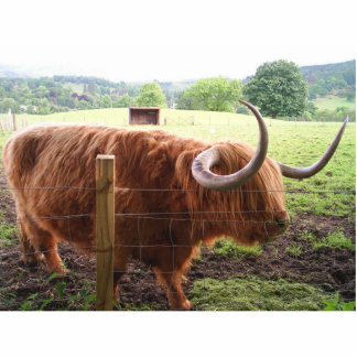Hairy Cow Standing Photo Sculpture