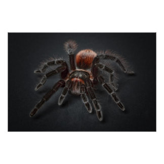 Hairy tarantula spider poster