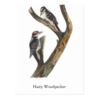 Hairy Woodpecker, John Audubon Postcard