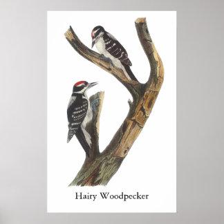 Hairy Woodpecker, John Audubon Poster