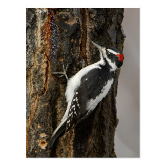 Hairy Woodpecker male on aspen tree, Grand Teton Postcard