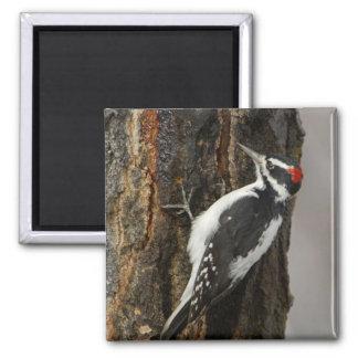 Hairy Woodpecker male on aspen tree, Grand Teton Square Magnet