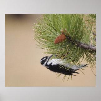 Hairy Woodpecker, Picoides villosus, female Poster