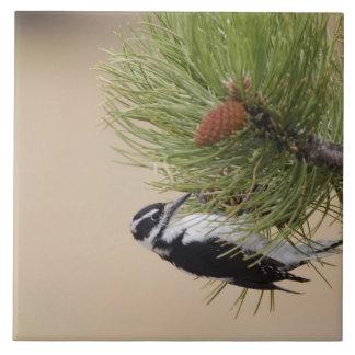 Hairy Woodpecker, Picoides villosus, female Tile