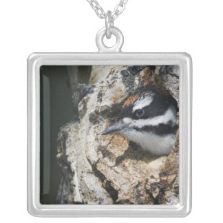 Hairy Woodpecker, Picoides villosus, young in Silver Plated Necklace