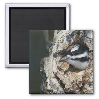 Hairy Woodpecker, Picoides villosus, young in Square Magnet