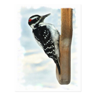 Hairy Woodpecker Postcard