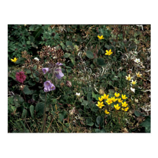 Hall Island wildflowers -Bog Saxifrage, Jacob's la Postcard