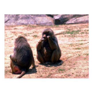 Hamadryas Baboons gnawing bark from stick Postcard