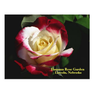 Hamann Rose Garden Double Delight Rose #190n  019 Postcard