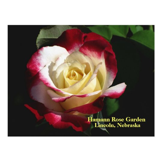 Hamann Rose Garden Double Delight Rose #190n  019 Postcard