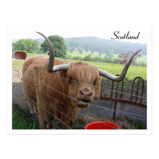 Hamish the Hairy Coo, Scotland Postcard