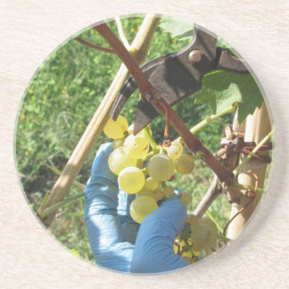Hand cutting white grapes, harvest time coaster