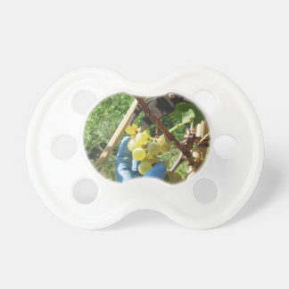 Hand cutting white grapes, harvest time pacifier