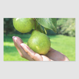 Hand showing branch with hanging green pears