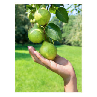Hand showing branch with hanging green pears postcard
