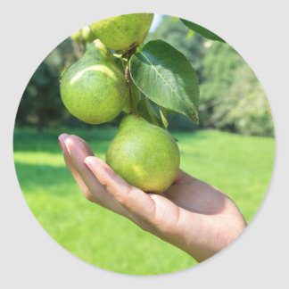 Hand showing branch with hanging green pears round sticker