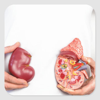 Hands holding model of human kidney organ at body. square sticker