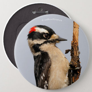 Handsome Downy Woodpecker on the Pear Tree 6 Inch Round Button