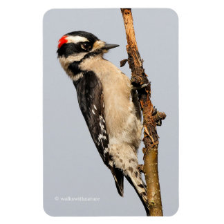 Handsome Downy Woodpecker on the Pear Tree Rectangular Photo Magnet