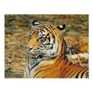 Handsome Tiger Postcard