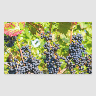 Hanging blue grape bunches in vineyard