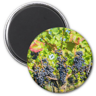 Hanging blue grape bunches in vineyard 2 inch round magnet