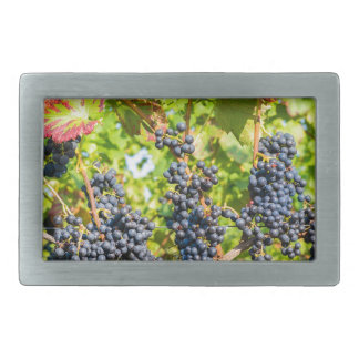 Hanging blue grape bunches in vineyard belt buckles