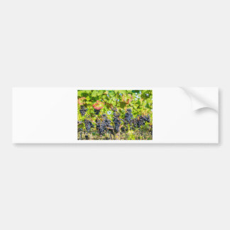 Hanging blue grape bunches in vineyard bumper sticker