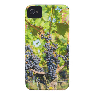 Hanging blue grape bunches in vineyard Case-Mate iPhone 4 cases