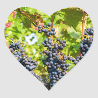 Hanging blue grape bunches in vineyard heart sticker