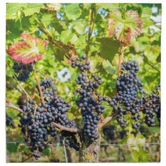Hanging blue grape bunches in vineyard napkin