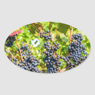 Hanging blue grape bunches in vineyard oval sticker