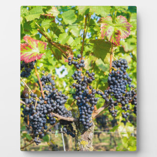 Hanging blue grape bunches in vineyard plaque