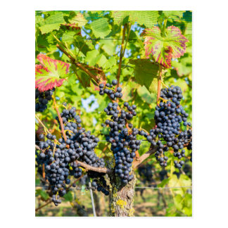 Hanging blue grape bunches in vineyard postcard