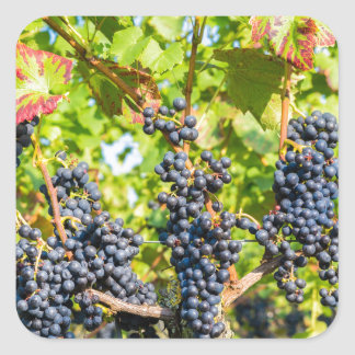 Hanging blue grape bunches in vineyard square sticker