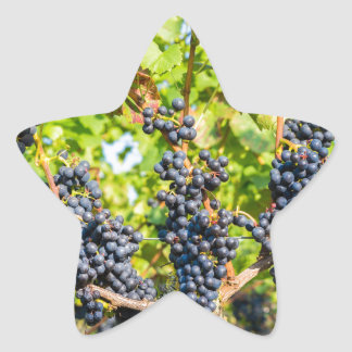 Hanging blue grape bunches in vineyard star sticker