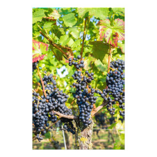 Hanging blue grape bunches in vineyard stationery