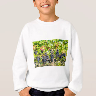 Hanging blue grape bunches in vineyard sweatshirt