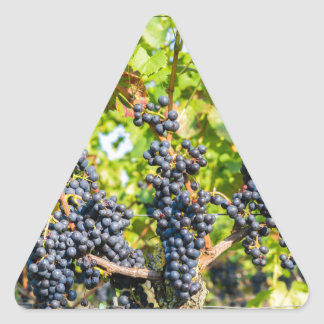 Hanging blue grape bunches in vineyard triangle sticker
