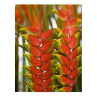 Hanging Heliconia, Weekly Tuesday fruit & Postcard