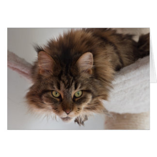 Hanging out - Maine Coon cat card